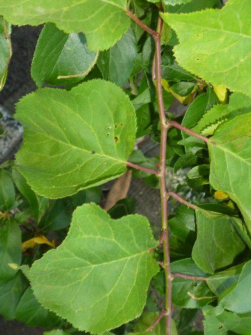 Внешний вид листовых пластинок плуота