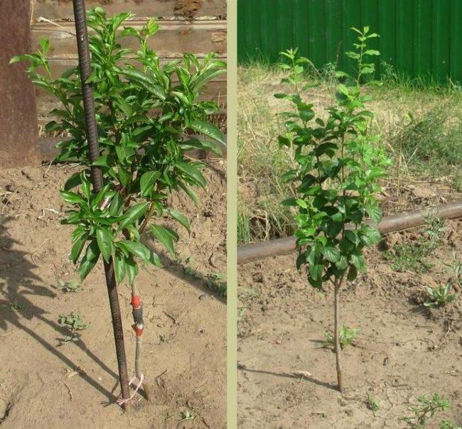 Молодые деревца плумкотов на солнечном месте садового участка