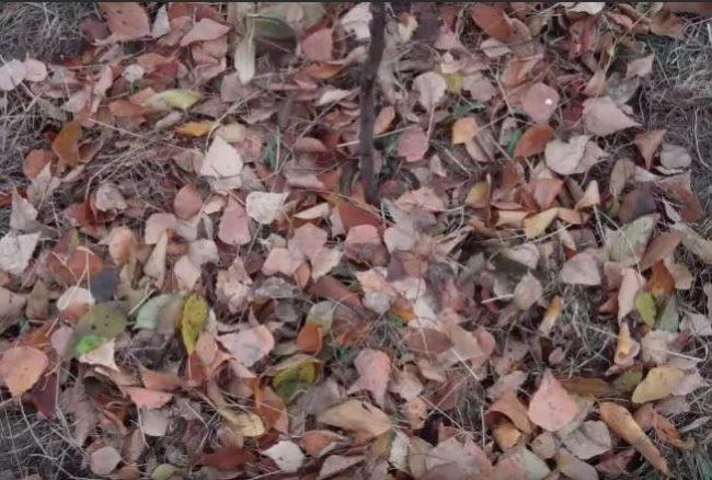 Мульчирование сливового саженца сухими листьями сразу после посадки