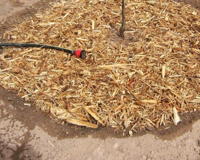 Весенний полив из шланга саженца сливы по мульче из древесной щепы