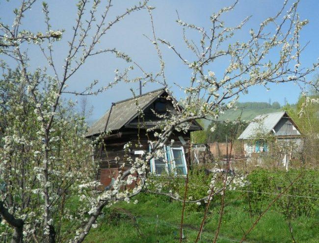 Распускание цветочных почек на ветках сливы в условиях Уральского региона