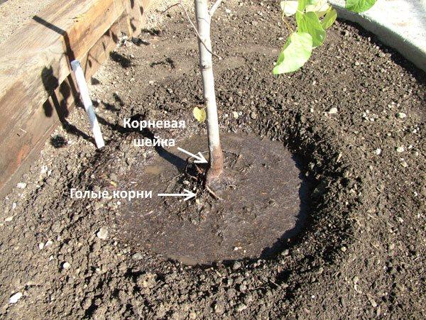 Оголение корневой системы саженца сливы при неправильной посадке
