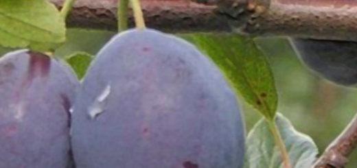 Плоды сливы НИКА вблизи на дереве созревают