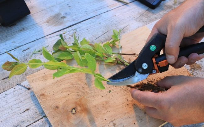 Подготовка зеленых черенков сливы для укоренения в домашних условиях