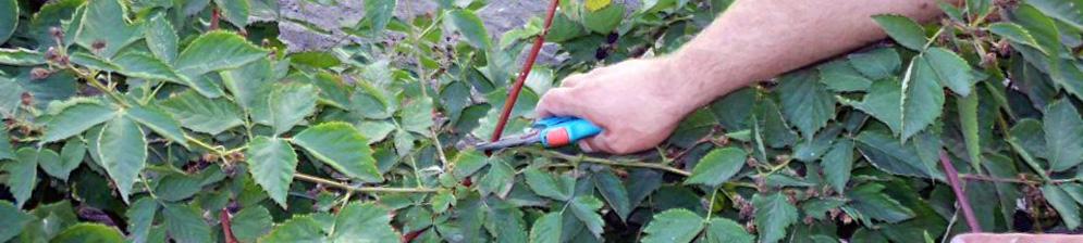Обрезка ежевики весной секатором ветки