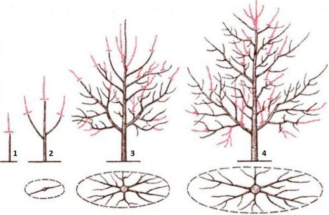 Подробная схема формирования кроны плодовой сливы с проекцией веток