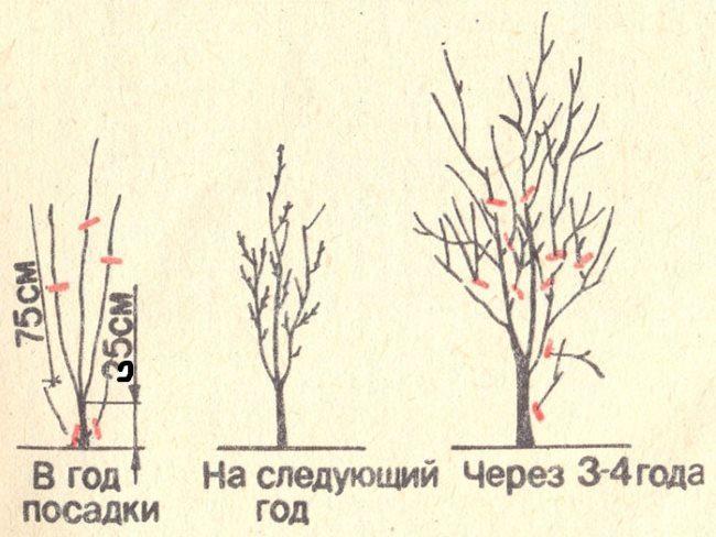 Схема обрезки сливы с момента посадки до четырехлетнего возраста