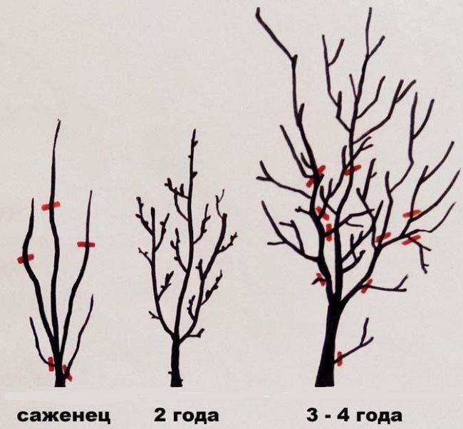 Схема обрезки сливового дерева от посадки до четырехлетнего возраста