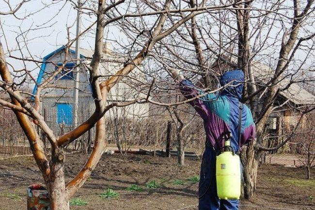 Ранневесеннее опрыскивание плодового сада раствором медного купороса