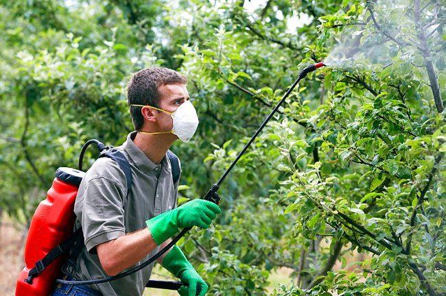 Опрыскивание сливы раствором мочевины в летний период