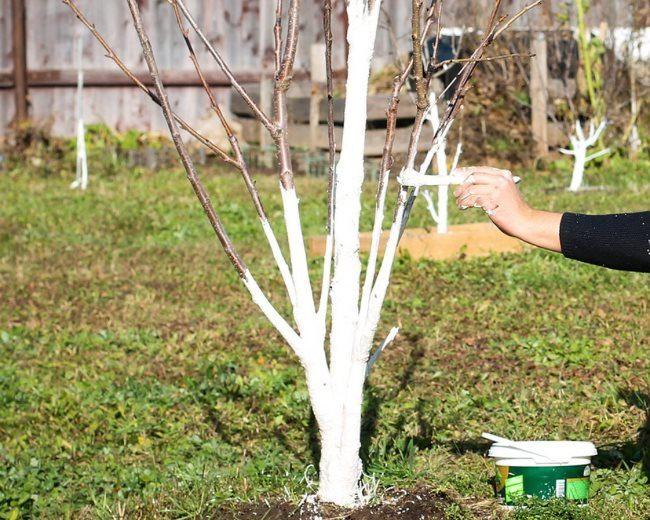 Осенняя побелка скелетных веток на сливовом дереве известковым раствором
