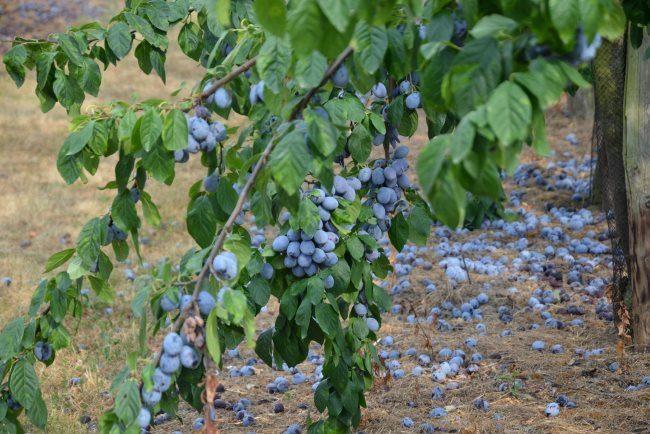 Осыпание плодов с дерева сливы при недостаточном поливе в жаркое лето