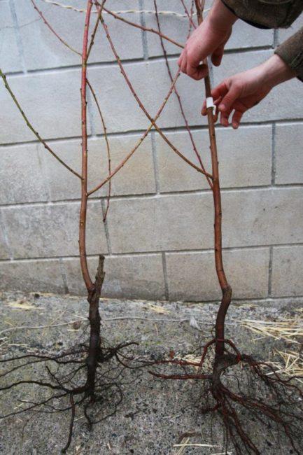 Выбор саженца сливы для посадки на своем участке ранней весной