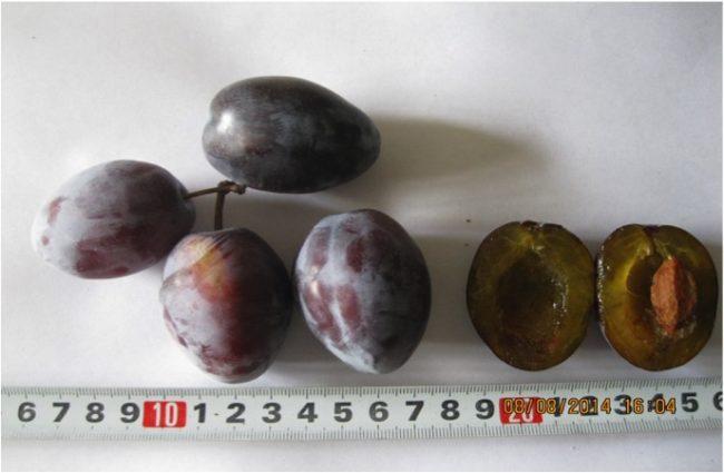 Внешний вид плодов и мякоть с косточкой сливы сорта Памяти Сатаровой