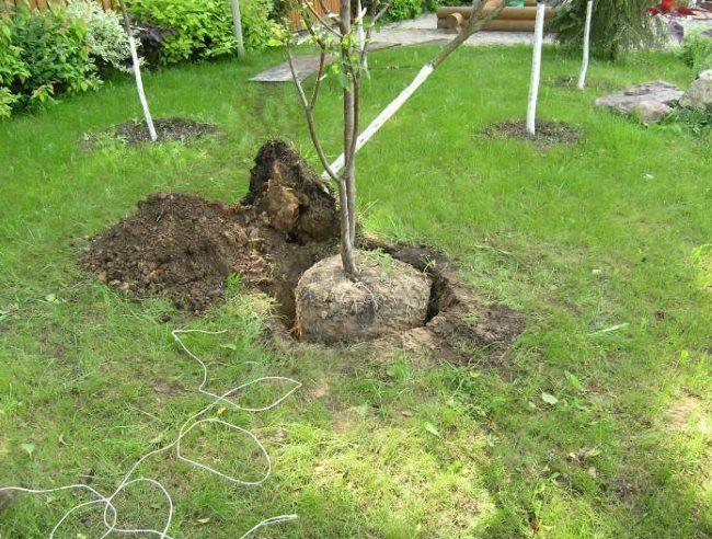Пересадка сливового деревца весной на новое место произрастания