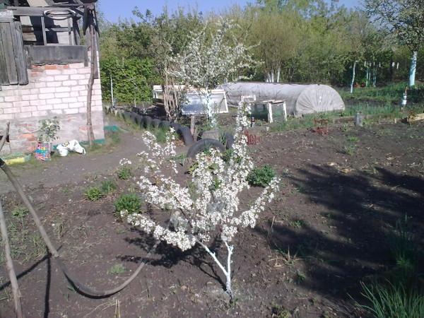 Первое цветение молодой сливы небольшого роста на дачном участке