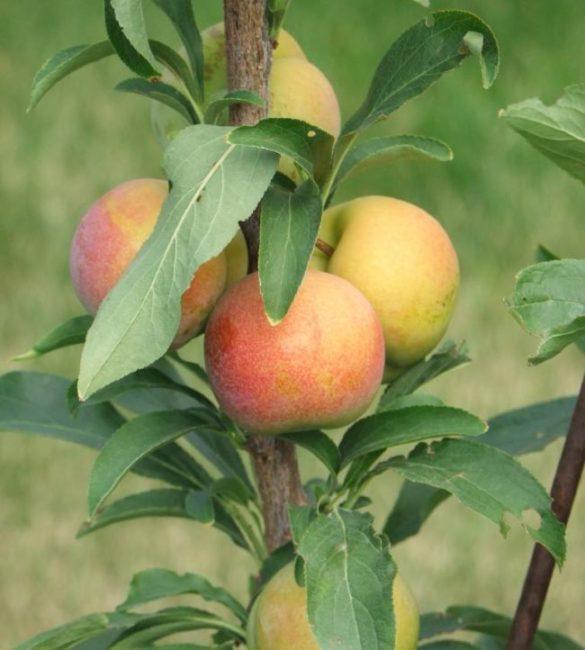 Первые плоды слибрикоса крупного размера с кожицей красно-желтого цвета