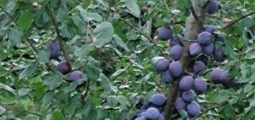 Созревающие плоды сливы на дереве на Урала садовый участок