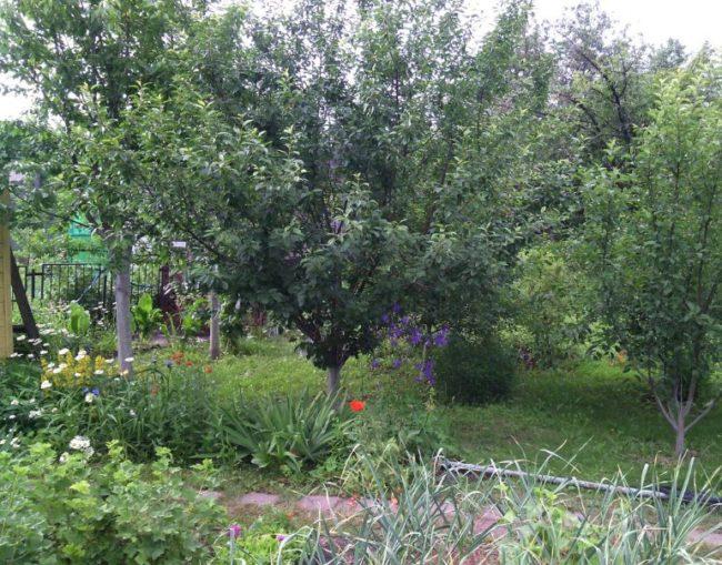 Слива и вишня в плодовом саду небольшого дачного участка