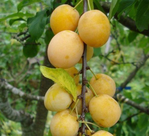Небольшие плоды ярко-желтого цвета сливы сорта Подарок Санкт-Петербургу