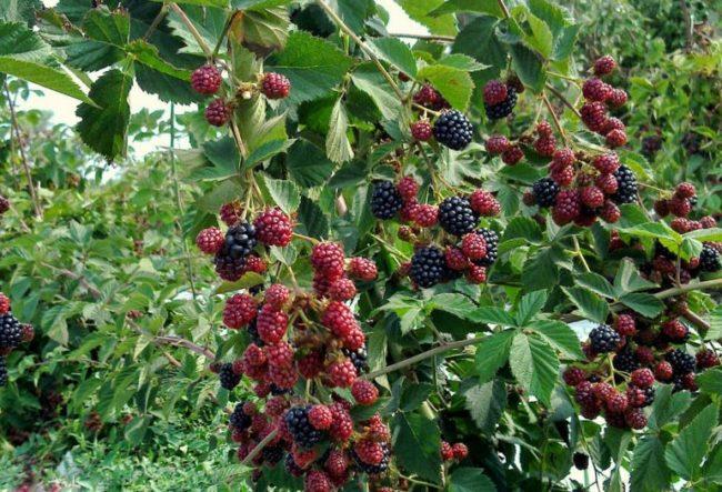 Обильное плодоношение садовой ежевики на двухлетних побегах