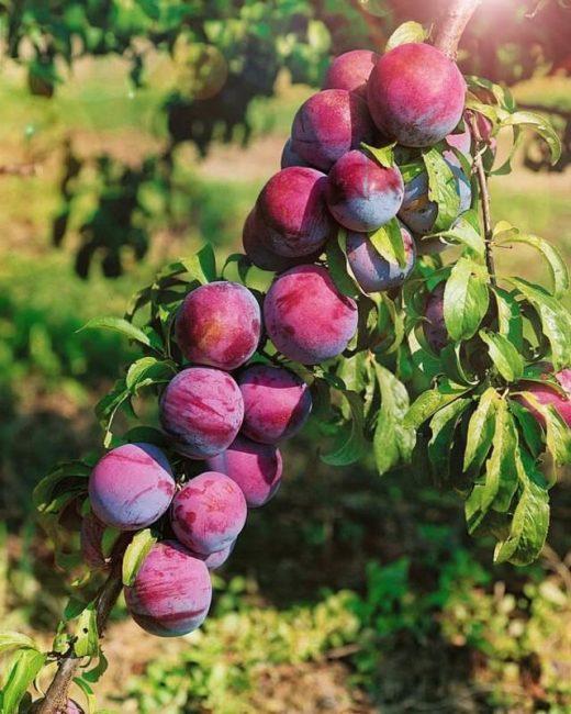 Ветка сливы сорта Уральские зори с плодами красно-бардового окраса