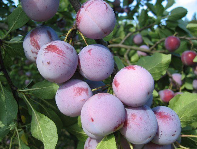 Круглые плоды с восковым налетом на кожице сливы сорта Аннушка