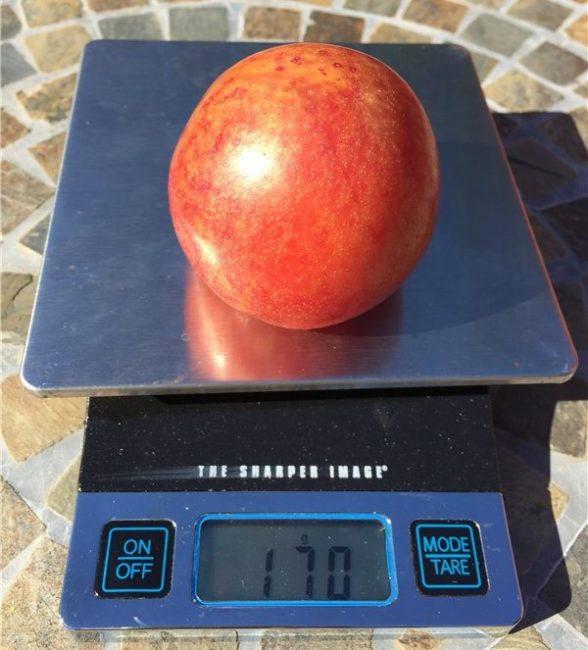 Красно-оранжевый плод гибрида плуота на бытовых весах