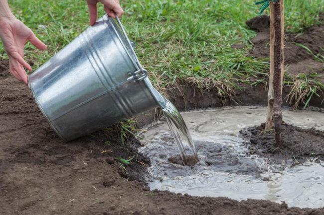 Полив молодой сливы дождевой водой из оцинкованного ведра
