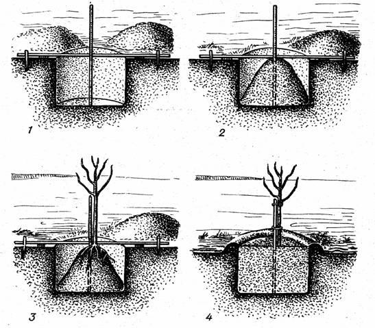 Схема пошагового процесса посадки саженца сливы в весенний период