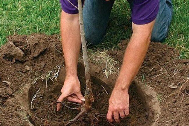 Посадка саженца алычи в заранее подготовленную яму с плодородной смесью