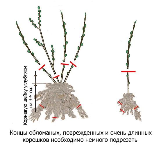 Схема обрезки кустов ежевики при осенней посадки на садовом участке