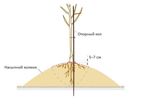 Схема посадки саженца сливы на насыпной холмик в низине