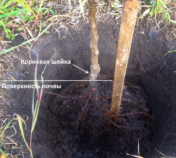 Примерка глубины посадки сливового саженца в процессе посадки