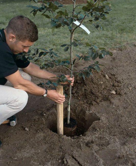 Весенняя посадка сливового саженца в яму с деревянным колом