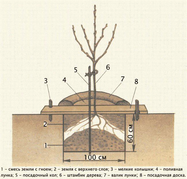 Устройство посадочной ямы для однолетнего саженца сливового дерева