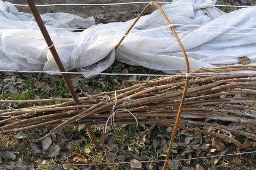 Связанные в пучки длинный ветки садовой ежевики перед укрытием на зиму