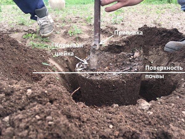 Схема правильного размещения саженца сливы в посадочной яме