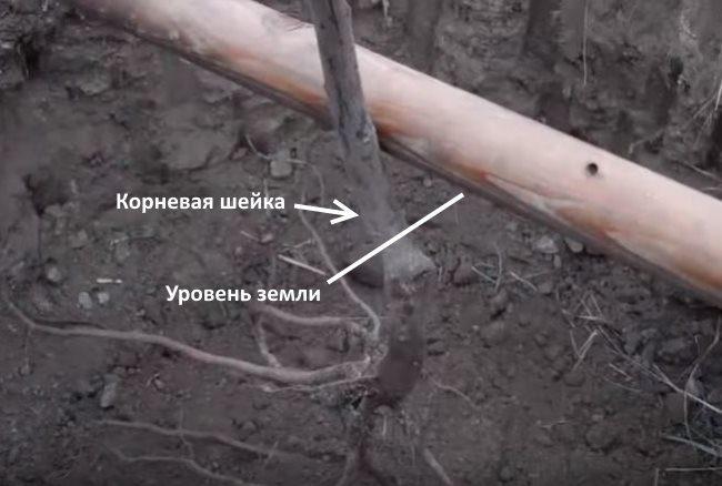 Правильное расположение корневой шейки саженца сливы при посадке