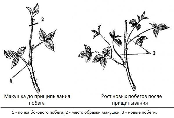 Схема летнего прищипывания макушек прямостоячей ежевики