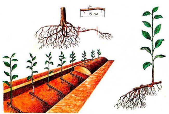Схема размножения сортовой сливы с помощью выкопанных корневых черенков