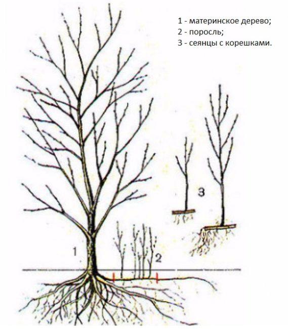 Схема размножения сливы Венгерка с помощью молодой поросли