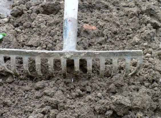 Выравнивание граблями почвы вокруг сливового дерева после внесения подкормки