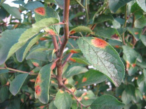 Красно-оранжевые пятна на листьях сливового дерева от ржавчины