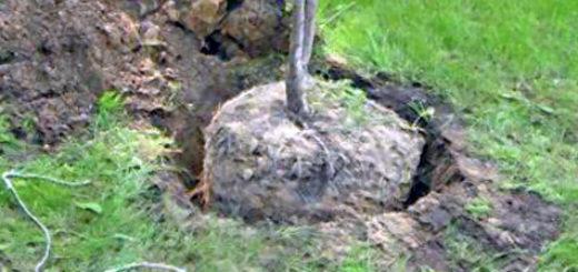 Посадка саженца сливы не участке с большой корневой системой