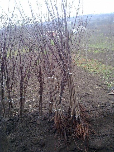Саженцы сливы с открытой корневой системой в пучках по десять штук