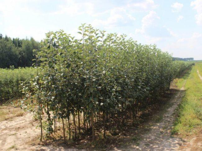 Двухлетние саженцы сливы на поле фермерского хозяйства
