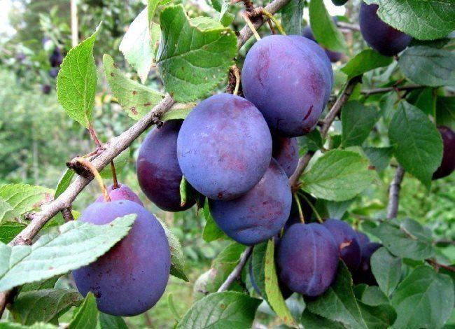 Овально-вытянутые плоды сливы с восковым налетом на сине-фиолетовой кожице