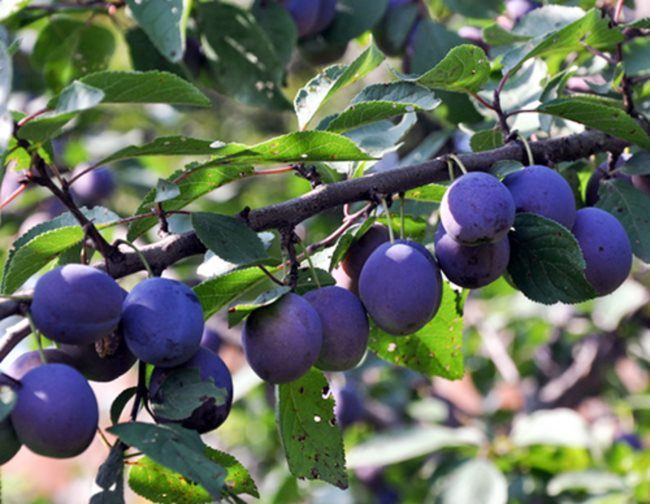 Наклоненная ветка сливы с плодами темно-синего окраса в стадии технической спелости