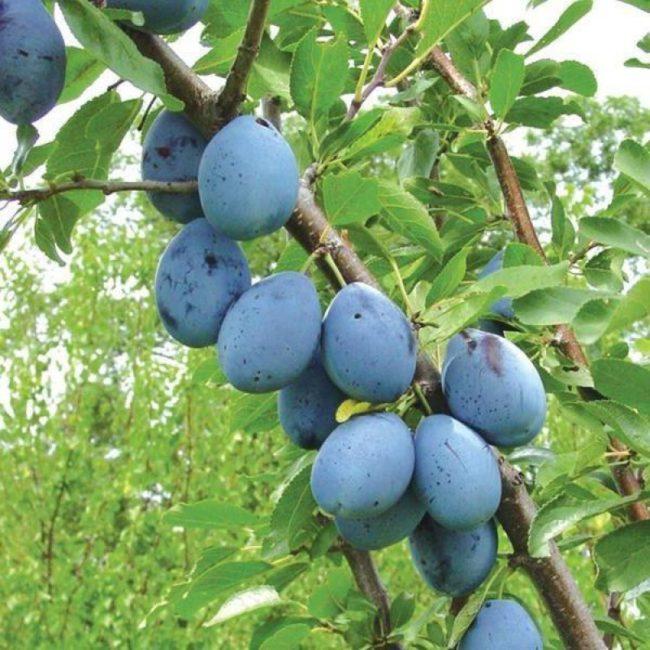 Продолговатые плоды сливы сорта Синий дар на ветке дерева в Подмосковье